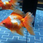 セミナーと金魚